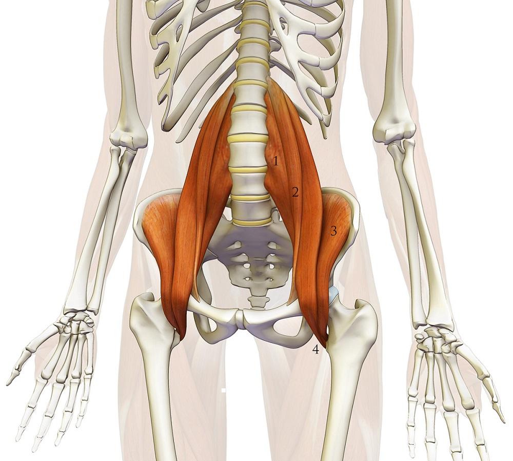 Muscolo ileopsoas: cos'è. Muscolatura e Postura.