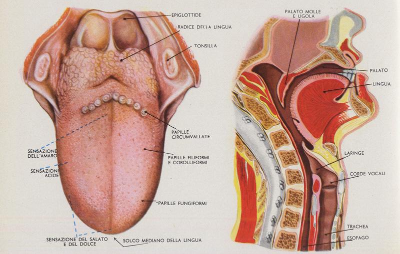 Postura linguale e postura corporea